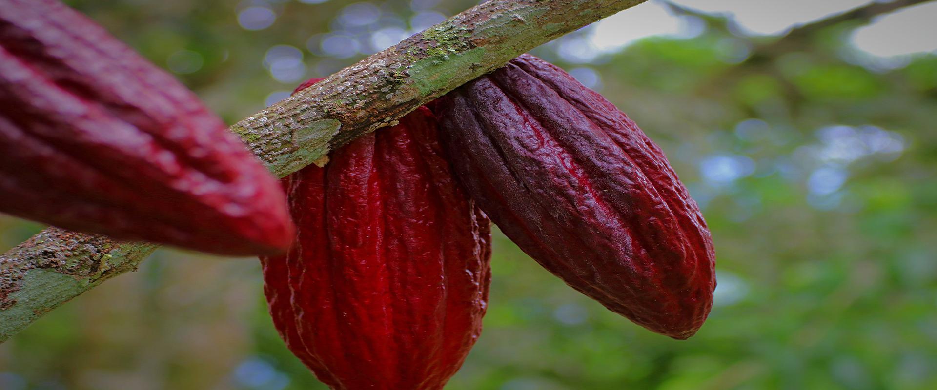 Rainforest Alliance 2020. UTZ zastąpiona nowym programem certyfikacji.