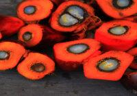 certyfikacja oleju palmowego