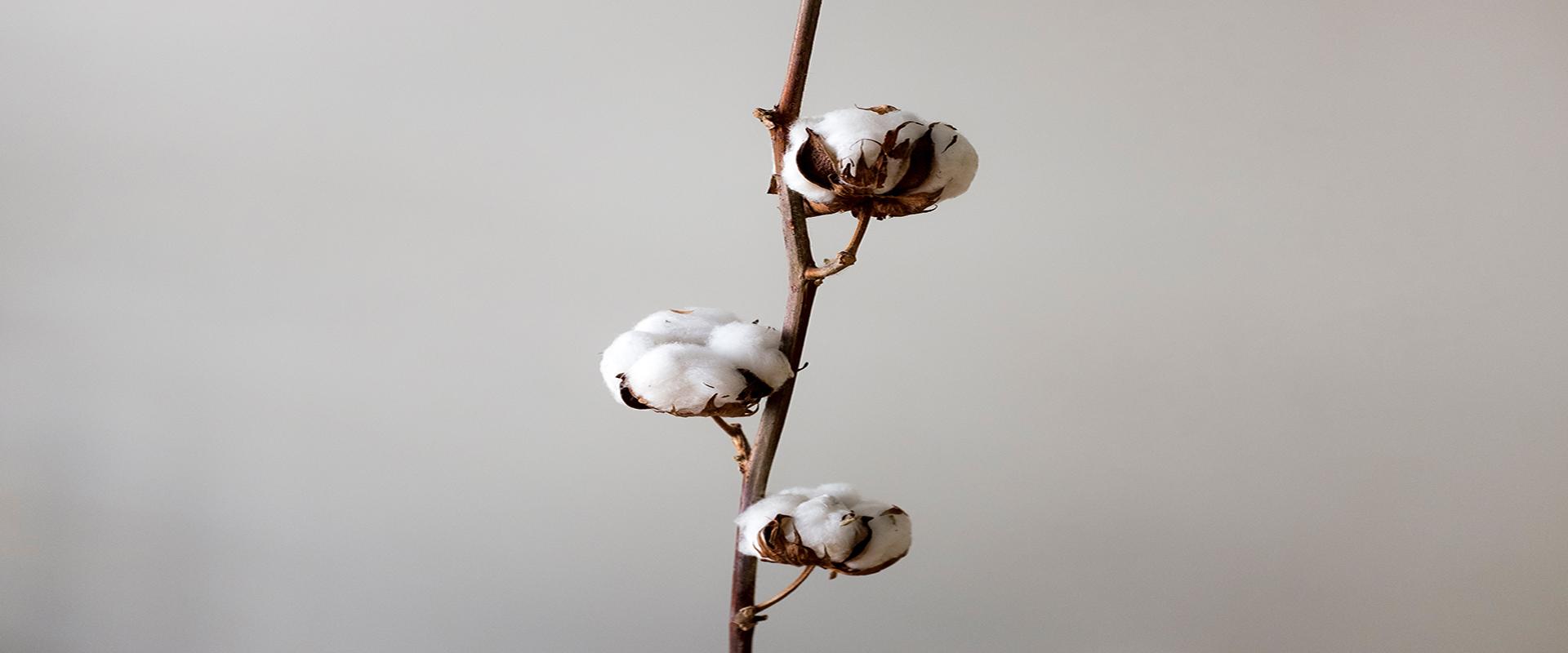Bawełna organiczna - nowe oblicze branży tekstylnej.