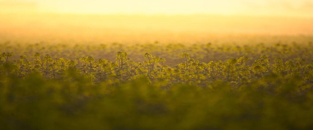 Co ma rzepak do zmian klimatycznych? Certyfikacja biokomponentów i biopaliw.
