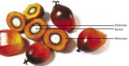 Owoc plamy olejowej