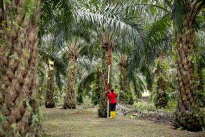 Zbieranie palmy olejowej