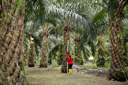 Zbiór owocostanów palmowych (FFB)